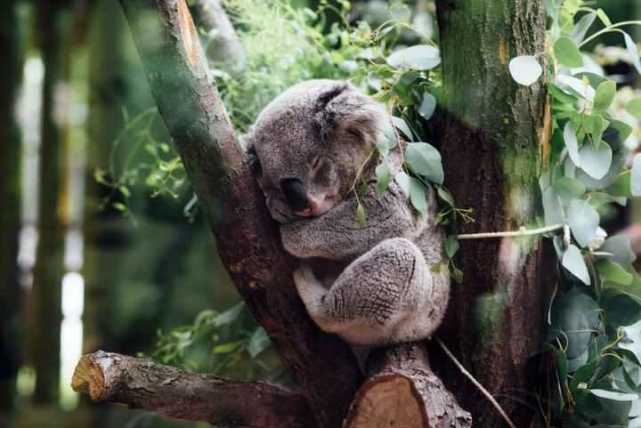 Koala nukkuu.jpeg