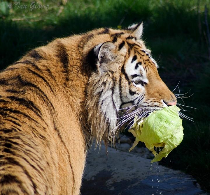 Tiikeri salaatti